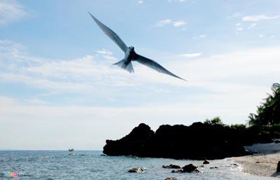 Hải âu ở biển Lý Sơn
