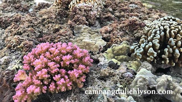 Một đóa san hô nhỏ đẹp sống trên cạn ở Hang Câu Lý Sơn
