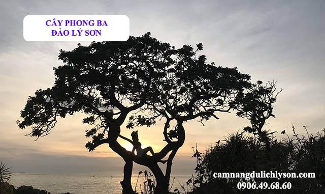 Cây phong ba Đảo Lý Sơn