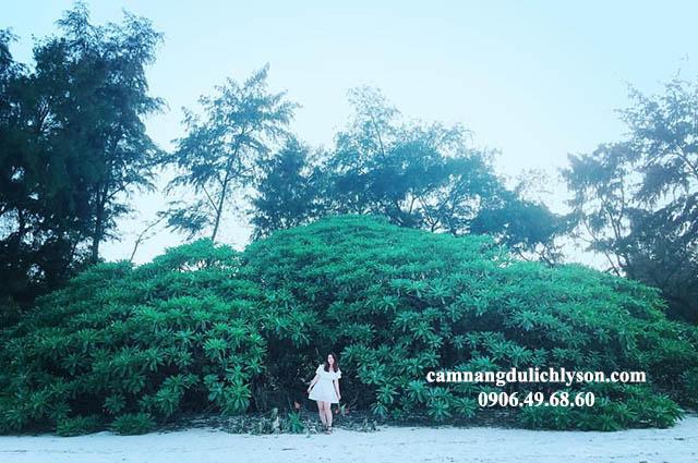 Cây phong ba với tán lá khổng lồ ở Đảo Lý Sơn